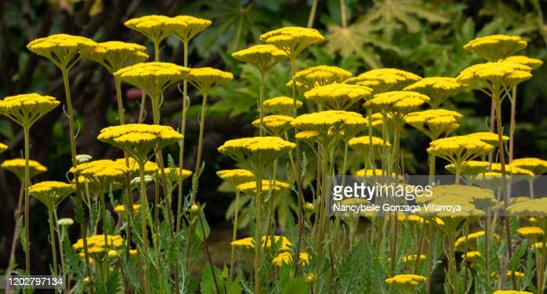 golden yellow yarrow flowers in full bloom in a garden - gras stock pictures, royalty-free photos & images