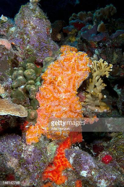 Golden zoanthid growing over peach encrusting sponge Curacao Netherlands Antilles