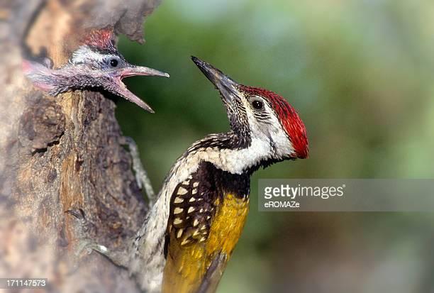 Goldenbacked Woodpecker