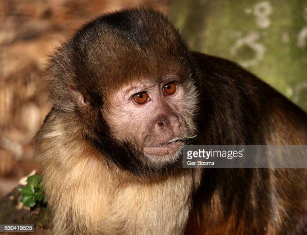 golden-bellied capuchin - animal abdomen stock photos and pictures