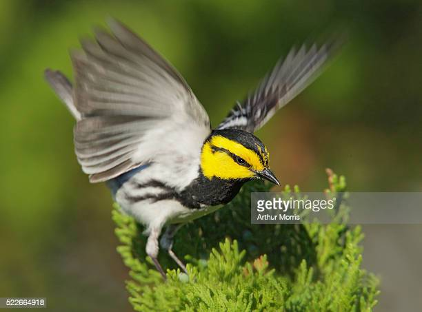 golden-cheeked warbler raising its wings - warbler stock pictures, royalty-free photos & images