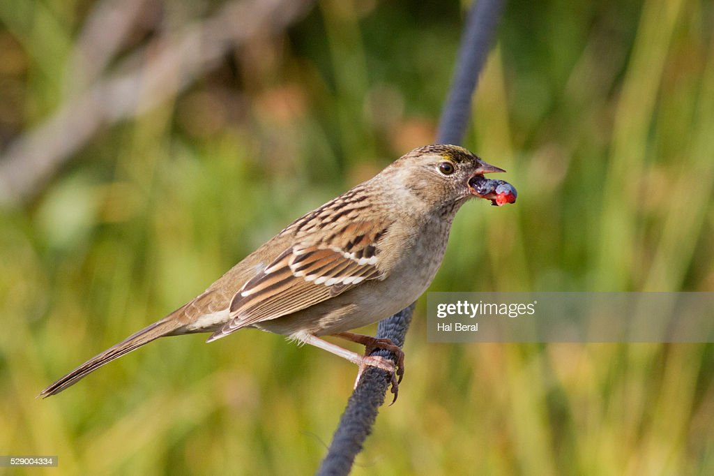 Image result for sparrow eating berries