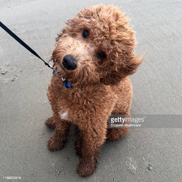 goldendoodle at beach - goldendoodle stock-fotos und bilder