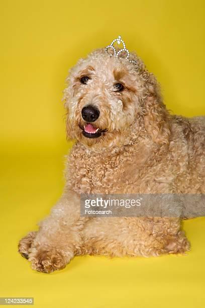 Goldendoodle dog wearing tiara lying on yellow background.