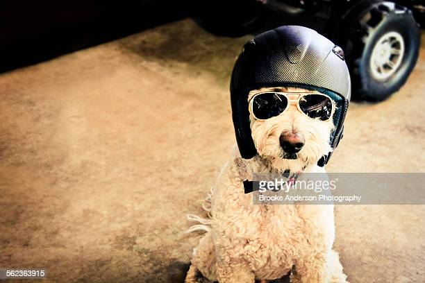 Goldendoodle Dog with Helmet and Sunglasses