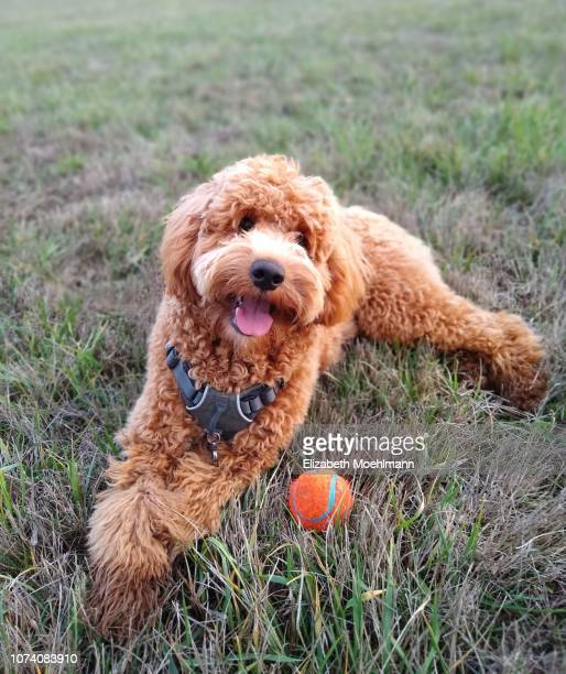 goldendoodle happily laying on grass with ball - goldendoodle stock-fotos und bilder