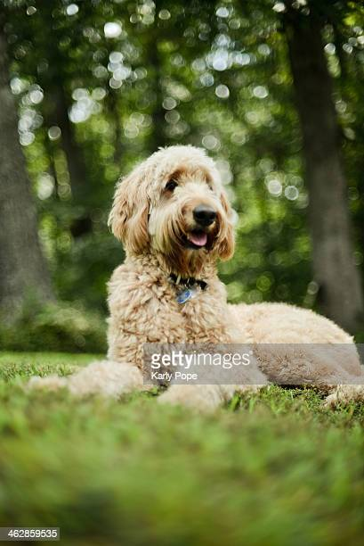 goldendoodle in the summer grass - goldendoodle stock photos and pictures