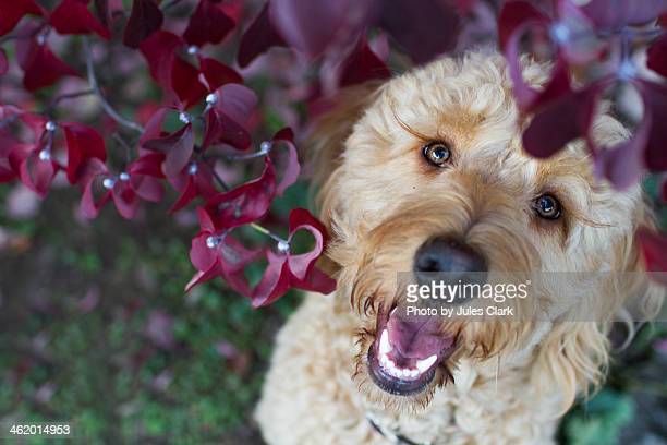 goldendoodle looking through fall leaves - goldendoodle stock-fotos und bilder