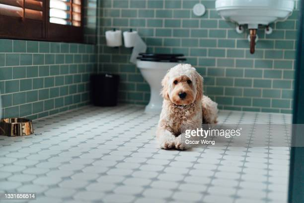 goldendoodle lying down in bathroom - illness stock pictures, royalty-free photos & images