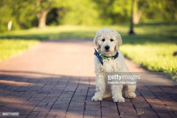 a goldendoodle on a brick sidewalk - goldendoodle stock-fotos und bilder