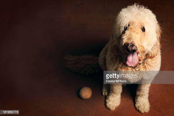 goldendoodle - hairy balls stock photos and pictures