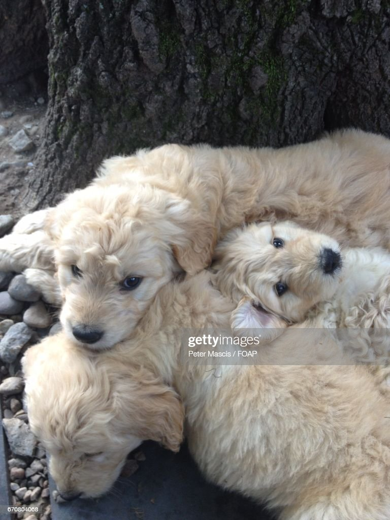 Goldendoodle Puppies High Res Stock Photo Getty Images