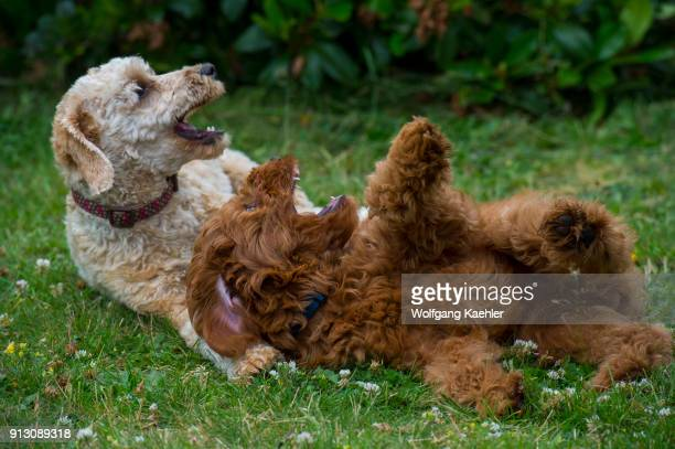 Goldendoodle puppy and a Labradoodle playing on lawn