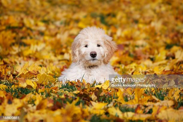 goldendoodle puppy in fall leaves - goldendoodle stock-fotos und bilder