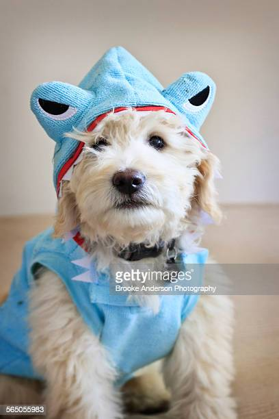 Goldendoodle puppy in shark costume