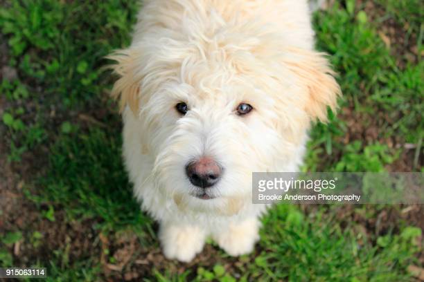 Goldendoodle Puppy Looking At Camera
