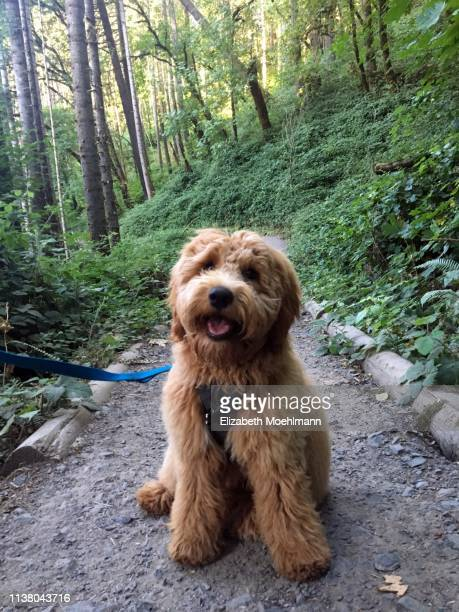 goldendoodle puppy on leash - goldendoodle stock-fotos und bilder