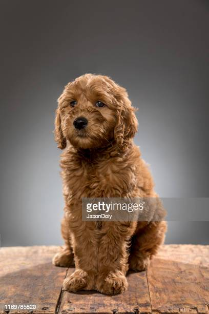 goldendoodle puppy portrait in studio - goldendoodle stock photos and pictures