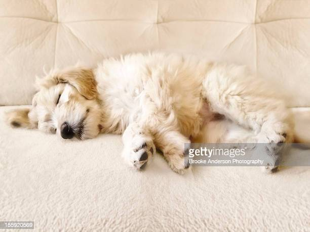 goldendoodle puppy sleeps - goldendoodle stock-fotos und bilder