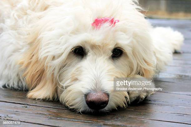 goldendoodle puppy with pink clip - goldendoodle stock photos and pictures