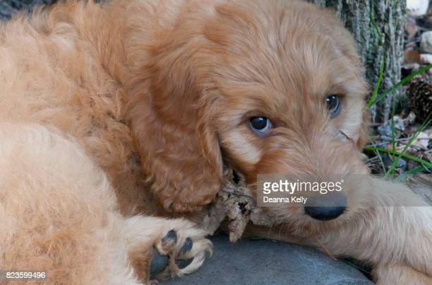 Goldendoodle Puppy With Soulful Eyes