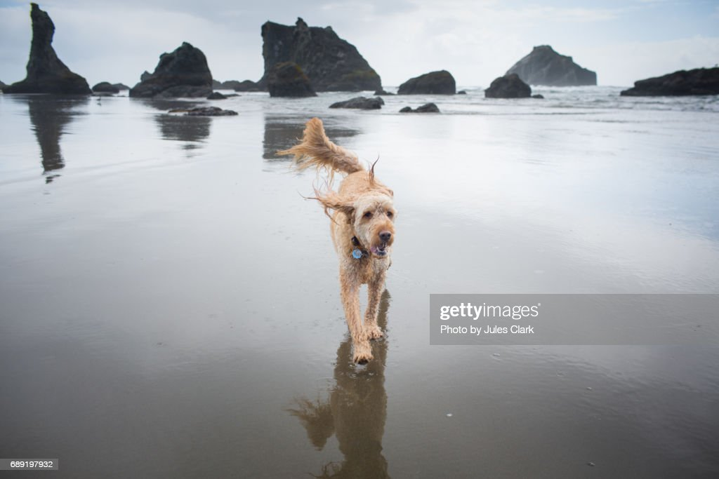 Goldendoodle running on beach : Stock Photo