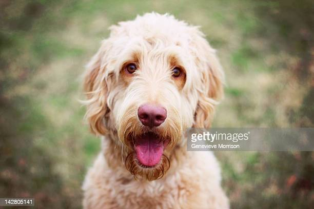 goldendoodle smiling - goldendoodle stock-fotos und bilder