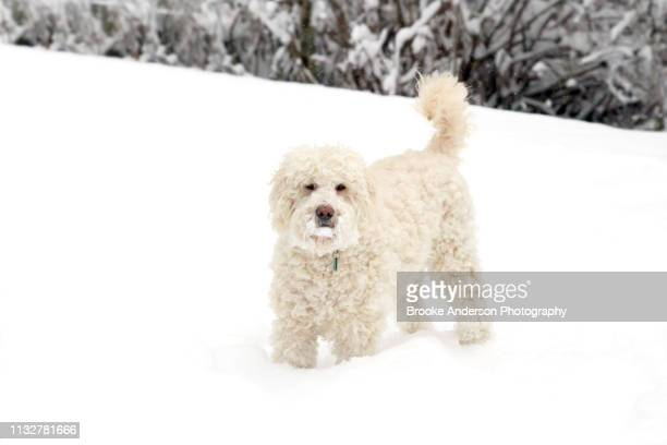 goldendoodle standing in snow - goldendoodle stock-fotos und bilder
