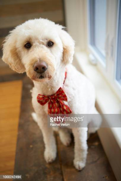 Goldendoodle wearing Christmas bowtie
