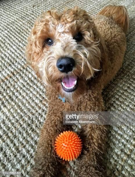 goldendoodle with ball - goldendoodle stock-fotos und bilder