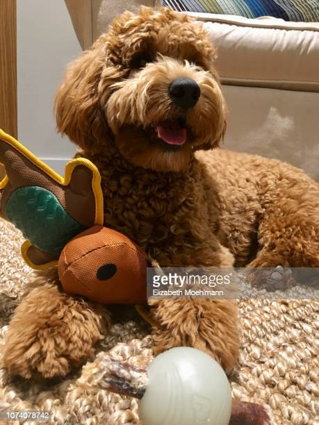 goldendoodle with chew toys - hairy balls stock photos and pictures
