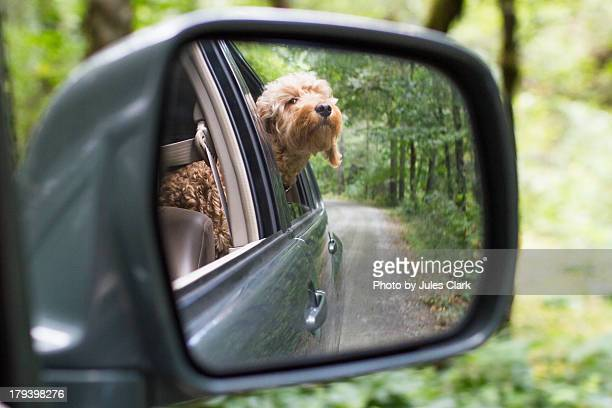 goldendoodle with head out car window - goldendoodle stock-fotos und bilder