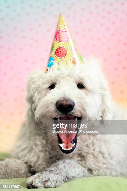 Goldendoodle With Party Hat on