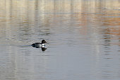 this image shows duck species called
