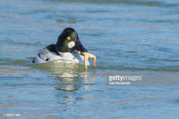 goldeneye duck swallowing bullfrog - bullfrog stock pictures, royalty-free photos & images