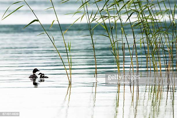 Goldeneye mother with chicks on lake