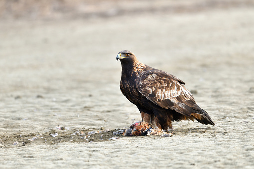 A Goldeng Eagle Hunting Pheasant - gettyimageskorea