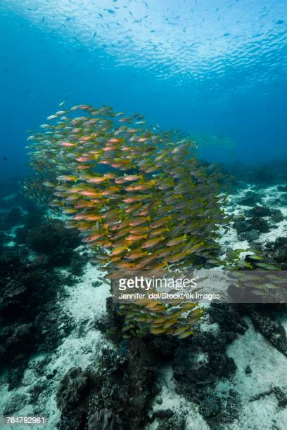 Golden-lined snapper in Raja Ampat, Indonesia.