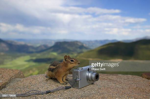 Golden-mantled Ground Squirrel Beside Camera