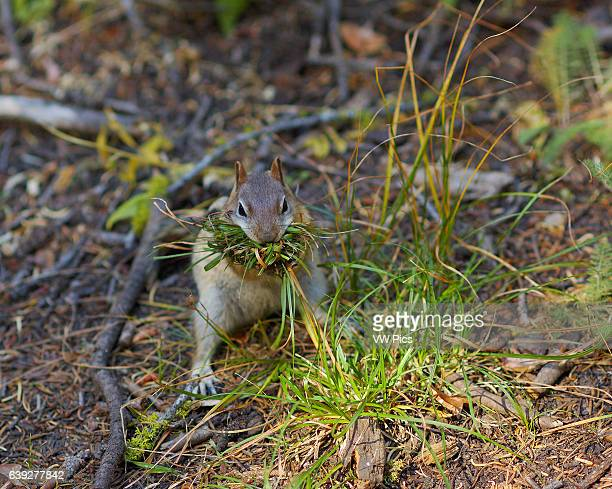 GoldenMantled Ground Squirrel gathering nesting material in Autumn Callospermophilus lateralis Taft Point Trail Yosemite National Park