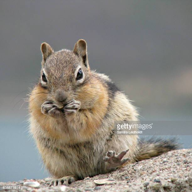 Golden-Mantled Ground Squirrel in Colorado