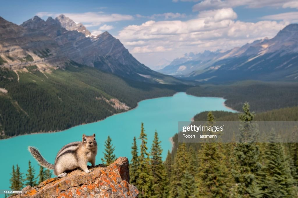 Golden-mantled ground squirrel (Spermophilus lateralis) in front of Peyto Lake, Banff National Park, Canadian Rocky Mountains, Alberta, Canada : Stock Photo