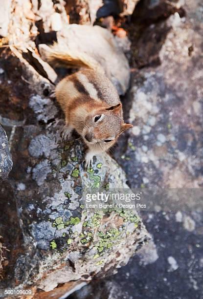 a golden-mantled ground squirrel (callospermophilus lateralis) - leah wilde stock-fotos und bilder