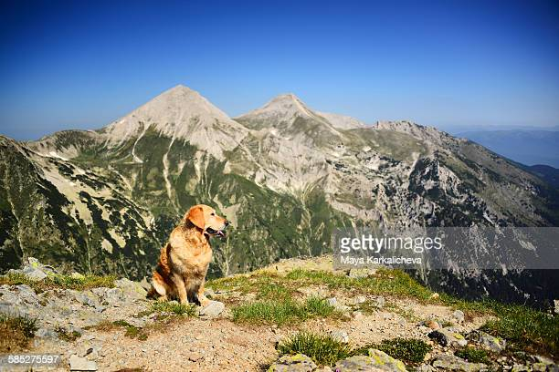 Goldenr etriever dog on a mountain top