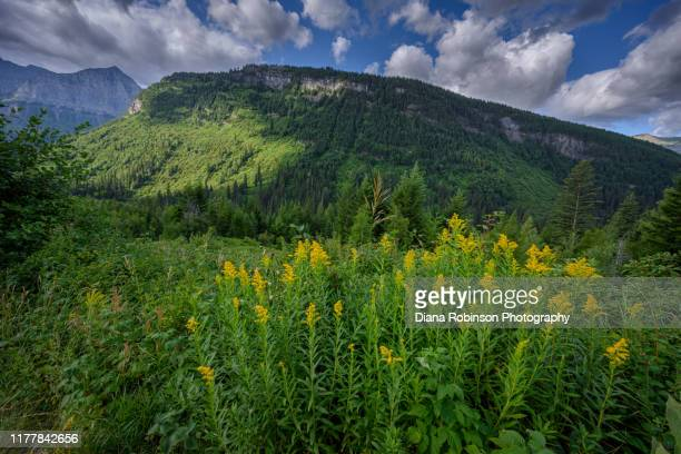 goldenrod along the going-to-the-sun road in glacier national park, montana - goldenrod stock pictures, royalty-free photos & images