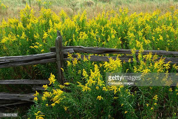 goldenrod and split rail fence - goldenrod stock pictures, royalty-free photos & images