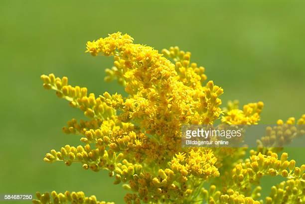 Goldenrod canadian Goldenrod Solidago canadensis Solidago medicinal plant
