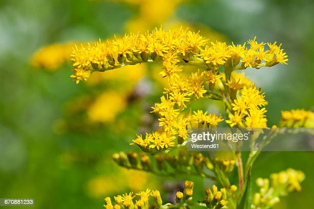 goldenrod, close-up - goldenrod stock pictures, royalty-free photos & images