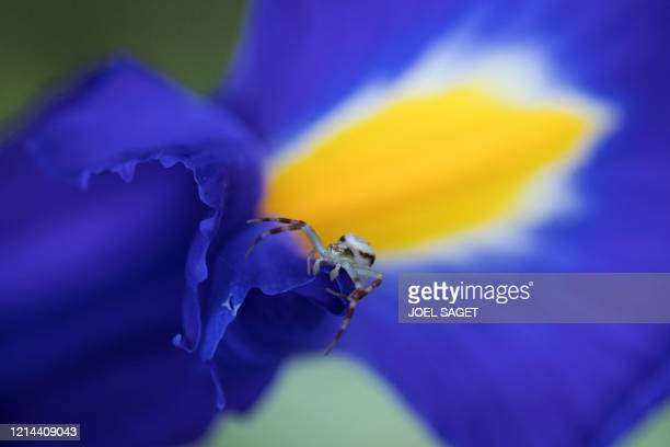 A goldenrod crab spider walks on a blue flower in SaintPhilbertsurRisle northern France on May 21 2020