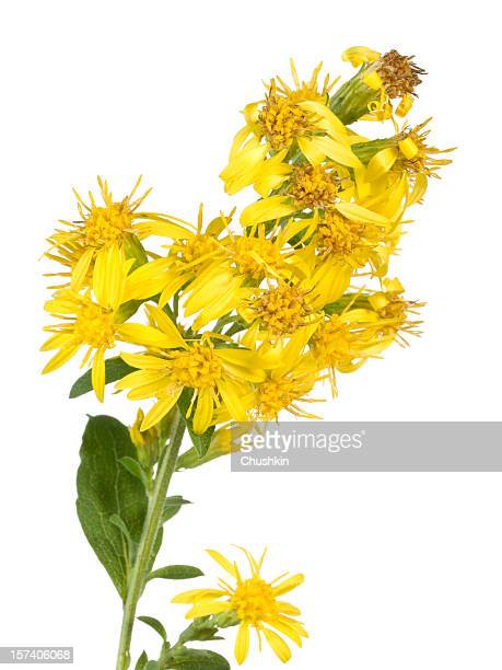 golden-rod (solidago vigaurea) - goldenrod stock pictures, royalty-free photos & images
